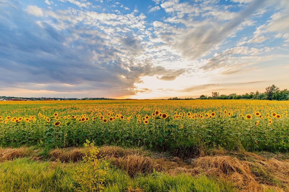 slunečnicová pole